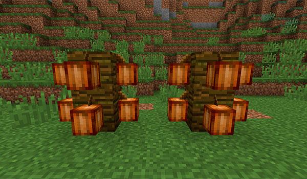imagen donde vemos dos trancos de jungla con varios frutos de cacao maduros.